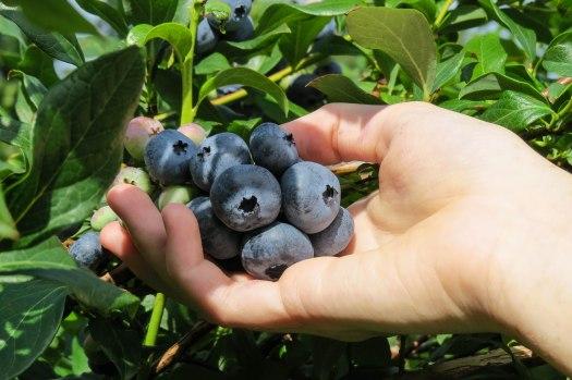 Blueberry-19